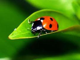 _ladybug2-lg.jpg